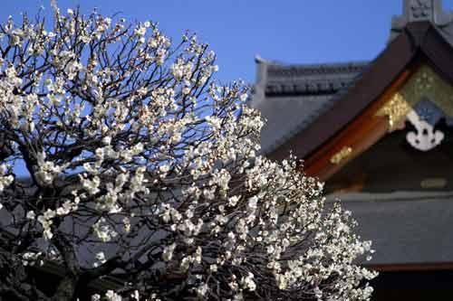寒いけど見に行きたい!東京都内・近郊で梅を堪能できるスポット紹介